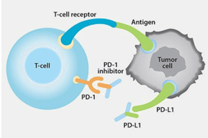がん免疫療法と PD-1/PD-L1 チェックポイント・シグナル伝達についてお勉強しましょう。
